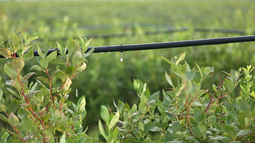 Are there any disadvantages of drip irrigation?